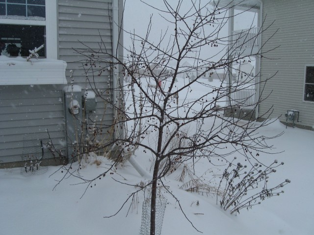 Unpruned Prairiefire Crabapple tree
