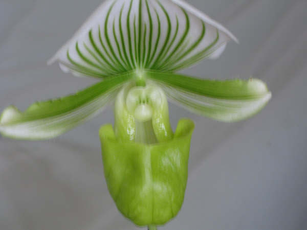 The Green Lady Slipper- strictly indoors only.