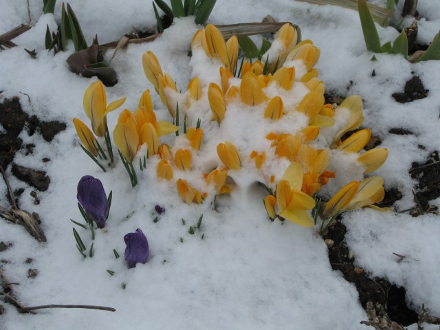 Golden Crocuses (with an errant purple)