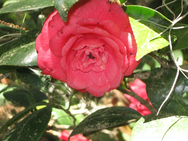 An unlabeled camellia