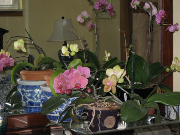 Some of my Phaleonopsis Orchids