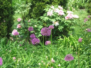Tree Peonies and Alliums at Chicago Botanic