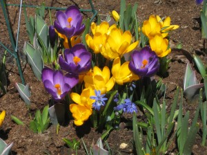 A bunch of crocus, iris and scilla